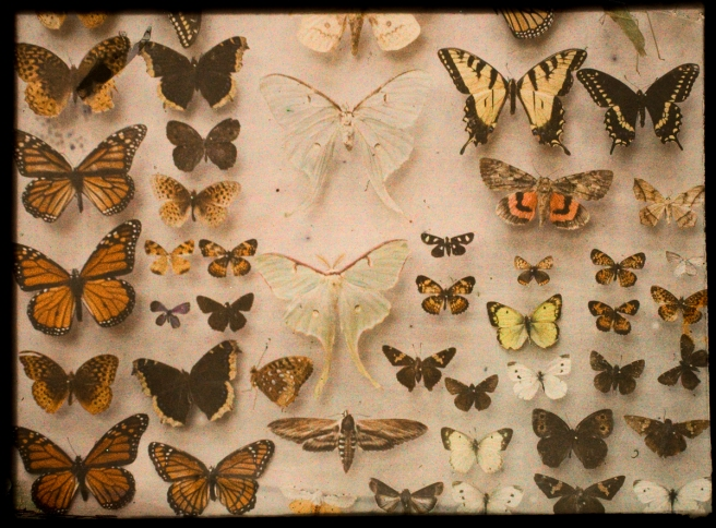 Butterfly Collection, 1907 - 1932